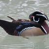 Wood Duck, Aix sponsa 2956