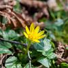 Lesser Celandine, Ranunculus ficaria 2891