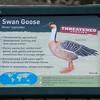 Swan Goose, Anser cygnoides 6567