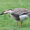 Swan Goose, Anser cygnoides 6565