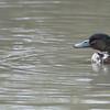 Domestic Mallard duckling, Anas platyrhynchos var  domesticus 6422