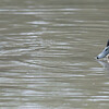 Domestic Mallard duckling, Anas platyrhynchos var  domesticus 6421