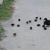 Domestic Mallard ducklings, Anas platyrhynchos var  domesticus 6480