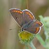 Brown Argus, Aricia agestis 4447