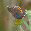 Brown Argus, Aricia agestis 4442