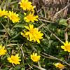 Lesser Celandine, Ranunculus ficaria 0085