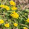 Lesser Celandine, Ranunculus ficaria 0082
