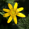Lesser Celandine, Ranunculus ficaria 0024