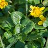 Lesser Celandine, Ranunculus ficaria 0051
