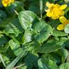 Lesser Celandine, Ranunculus ficaria 0050