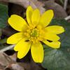 Lesser Celandine, Ranunculus ficaria P1220988