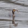 Cormorant, Phalacrocorax carbo with fish 1511