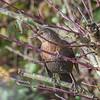 Blackbird, female, Turdus merula 0859