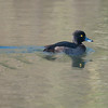 Tufted Duck, Aythya fuligula 0890