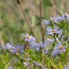 Blue Daisy, Felicia amelloides, blueflora 2914