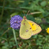 Clouded Yellow, Colias croceus 2493
