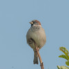 House Sparrow, Passer domesticus 2906