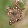 Speckled Wood, Pararge aegeria 2453