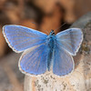 Common Blue, Polyommatus icarus 2959