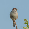 House Sparrow, Passer domesticus 2909