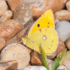 Clouded Yellow, Colias croceus 2925