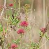 Red Valerian, Centranthus ruber, redflora 2917