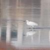 Little Egret, Egretta garzetta 2932