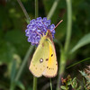 Clouded Yellow, Colias croceus 2490