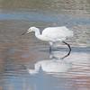 Little Egret, Egretta garzetta 2937
