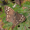 Speckled Wood, Pararge aegeria 2459