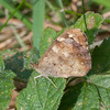Speckled Wood, Pararge aegeria 2443