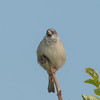 House Sparrow, Passer domesticus 2907