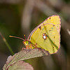 Clouded Yellow, Colias croceus 2970
