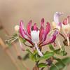 Honeysuckle, Lonicera caprifolium 2919