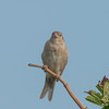 House Sparrow, Passer domesticus 2898