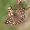 Speckled Wood, Pararge aegeria 2454