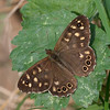 Speckled Wood, Pararge aegeria 2462