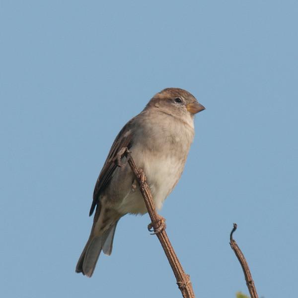 House Sparrow, Passer domesticus 2968