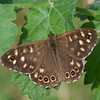 Speckled Wood, Pararge aegeria 2461