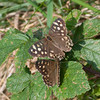 Speckled Wood, Pararge aegeria 2442
