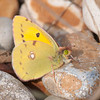 Clouded Yellow, Colias croceus 2746