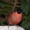 Bullfinch, Pyrrhula pyrrhula 7602