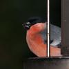 Bullfinch, Pyrrhula pyrrhula 7594