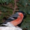 Bullfinch, Pyrrhula pyrrhula 7595