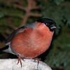 Bullfinch, Pyrrhula pyrrhula 7598