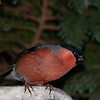 Bullfinch, Pyrrhula pyrrhula 7603