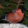 Bullfinch, Pyrrhula pyrrhula 7599