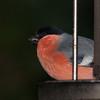 Bullfinch, Pyrrhula pyrrhula 7593