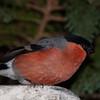 Bullfinch, Pyrrhula pyrrhula 7600