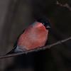 Bullfinch, Pyrrhula pyrrhula 7596